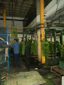 Cutting and hanging the plants at the coop. Getting ready to box and ship them.